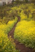 Weg durch wilde gelbe Frühlingsblumen, Solidago foto