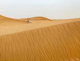 Oryx in der Wüste foto