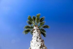 Palme in Lagos in der Nähe von Marina, Portugal
