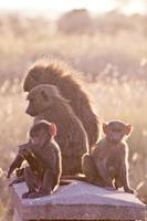 Babon Familie