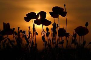 Mohnblumen bei Sonnenuntergang