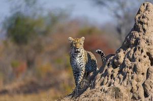 Alarm weiblicher Leopard foto