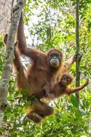 weiblicher Orang-Utan mit einem Baby