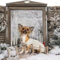 Chihuahua schaut auf und sitzt auf einer Brücke foto