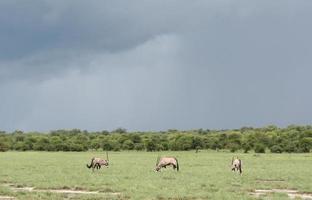 Oryxherde, grünes Grasland, Gewitter, Etosha, Namibia, Afrika