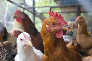Huhn im Käfig foto