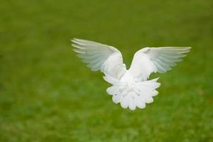 weiße Taube fliegt foto