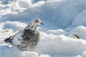 schneeweiße Taube foto