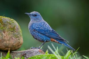 linkes Seitenporträt der blauen Felsdrossel foto