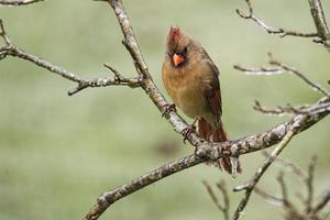 weiblicher Kardinal hinter gefrorenen Zweigen. foto