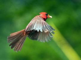 Kardinal im Flug foto
