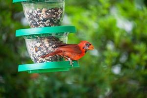 nördlicher Kardinal