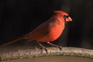 nördlicher Kardinal am frühen Abend foto