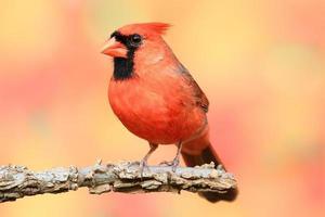 männlicher nördlicher Kardinal foto