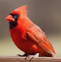 männlicher Kardinal auf einer Planke foto