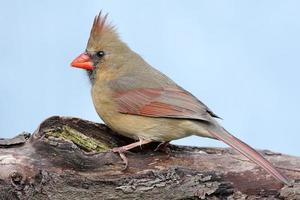 nördlicher Kardinal auf einem Baumstamm foto