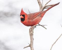 männlicher Kardinal foto