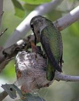 weiblicher annas Kolibri füttert ein Küken foto