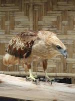 Adler auf Koh Phi Phi, Thailand foto