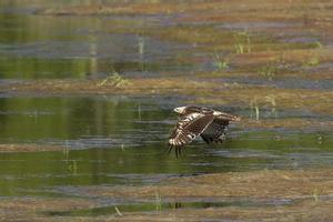 fliegender veränderbarer Falkenadler in Nepal foto
