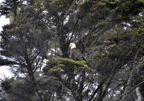 Amerikanischer Weißkopfseeadler Baumkronenfokus Ruby Beach Olympia National Park foto