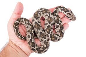 Viper Schlange foto