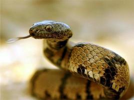 Schlange schnippt mit der Zunge