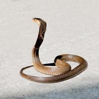 Kobra auf dem Boden