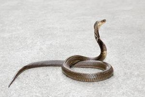 Kobra auf dem Boden foto