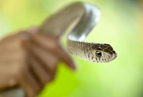 eine Schlange präsentieren foto
