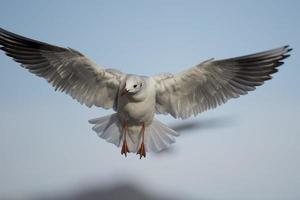 Möwe fliegt foto