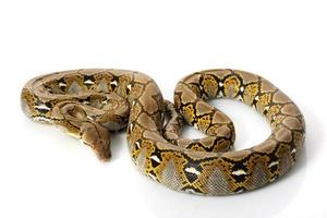retikulierte Python foto