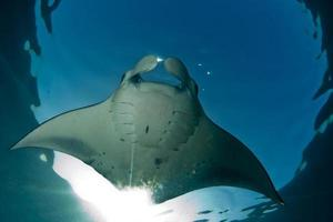 fliegender Mantaray