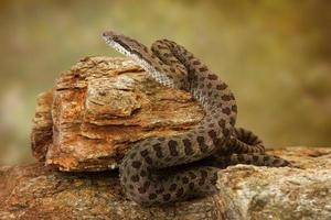 Doppelfleckige Klapperschlange auf Wüstenfelsen foto