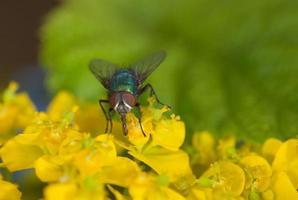 fliege auf einer Euphorbia