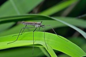 Insekten Papa-lange Beine foto