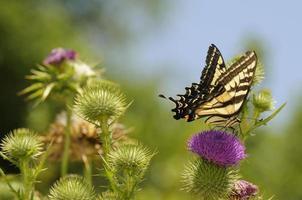 Monarch auf einer lila Distel foto