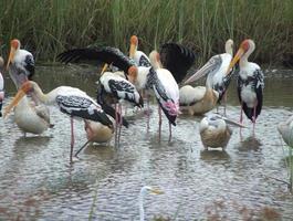 Herde bemalter Störche und Pelikane, die sich intensiv ernähren foto