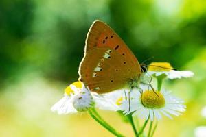 bunter Monarchfalter, der auf Kamillenblumen sitzt foto