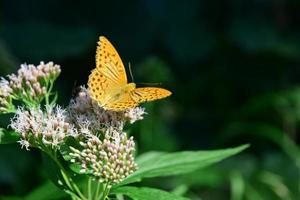 orange Schmetterling