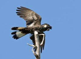 abheben - Carnabys schwarzer Kakadu foto