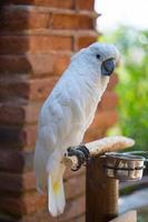 großer weißer Papageienkakadu foto