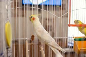 Corella-Papagei in einem Käfig