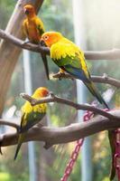 Sun Conure Papagei foto