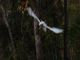 Kakadu im australischen Outback foto