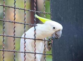 Kakadu mit Schwefelhaube in einem Käfig foto
