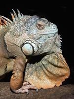 grüner Leguan (Leguanleguan) foto