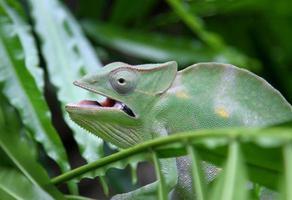 grünes Chamäleon tarnt sich