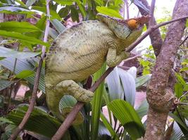 Pfarrchamäleon (Calumma Parsonii) - seltenes endemisches Madagaskar foto