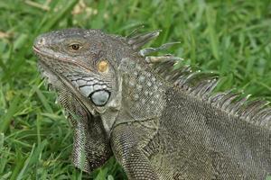 grüner Leguan, Aruba, ABC-Inseln foto